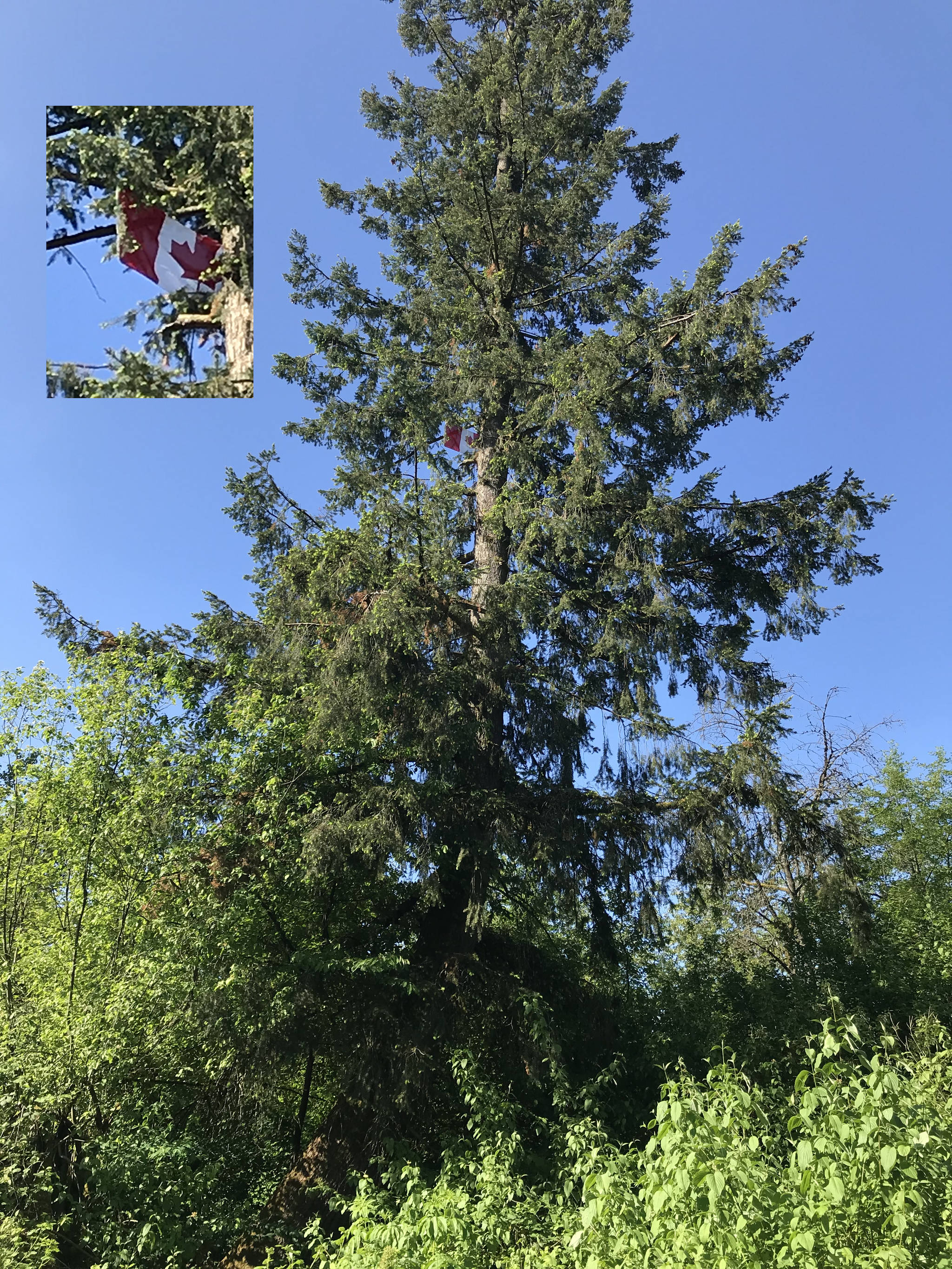 Look up, way up, and you will see a Canadian flag flying from a very tall tree in Langley (Special to Langley Advance Times)