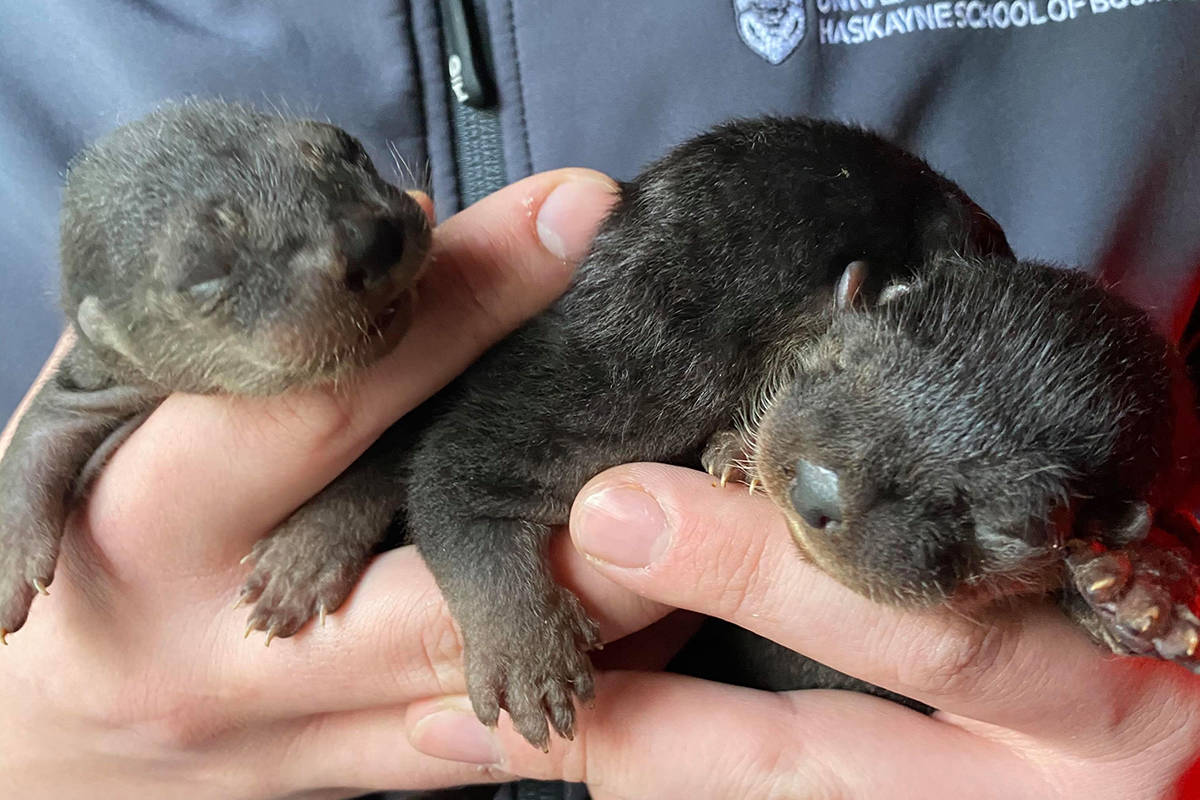 Dame Judy Dentures, Critter Care's new animal ambassador, gave birth to three otter pups Custard, Jam, and Scone on March 22. (Critter Care Wildlife Society/Special to Langley Advance Times)