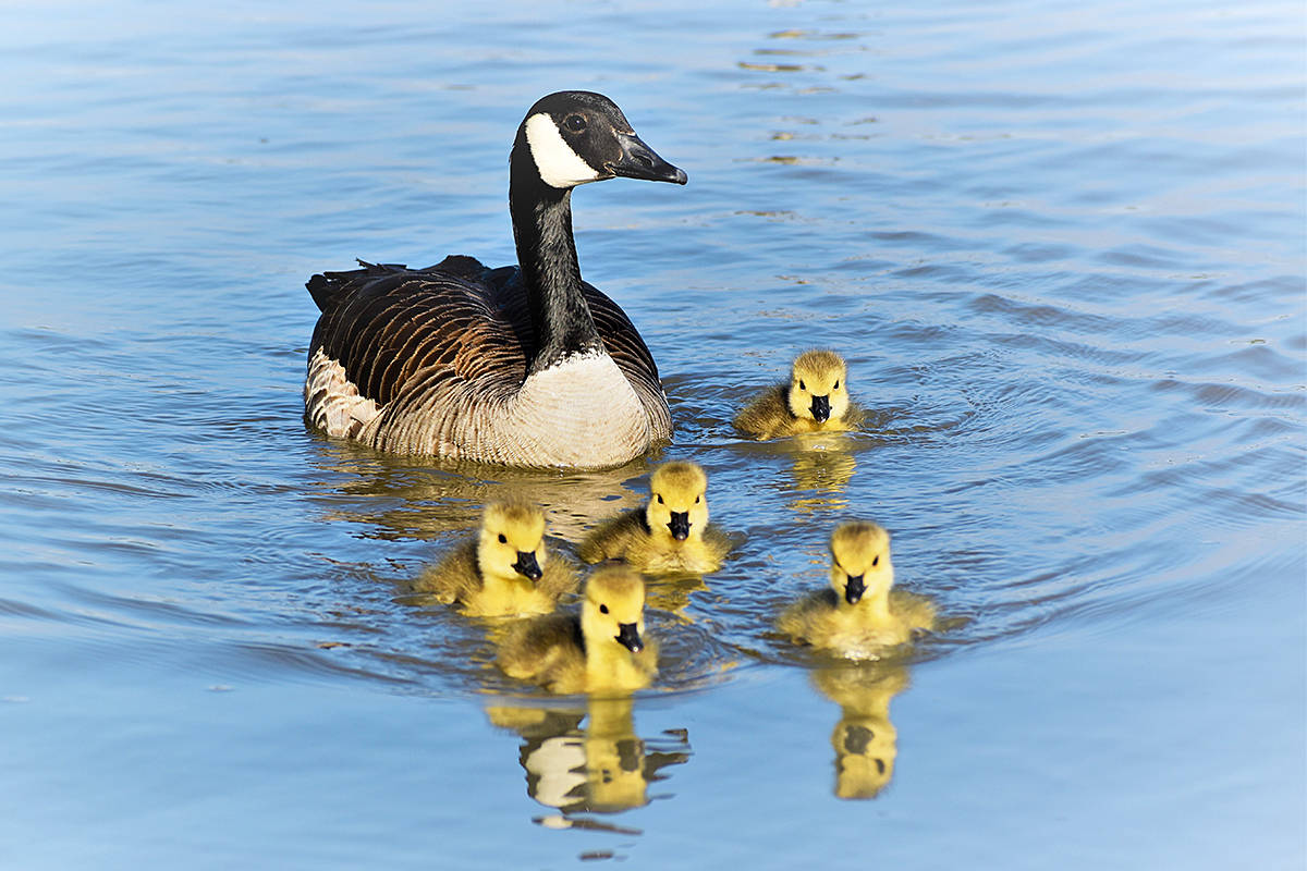 Langley's Cora Goodyear recently captured a photo of a Canada goose and five goslings swimming around in the Fraser River at Derby Reach Regional Park. (Special to Langley Advance Times)