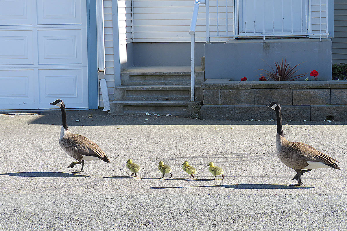 """While geese and ducks might be spotted most commonly by local waterways, these geese and goslings were spotted strolling through a Langley Meadows complex on Sunday. """"It's a Kodak moment,"""" said Marilyn Crosby, who shared her image. (Special to Langley Advance Times)"""