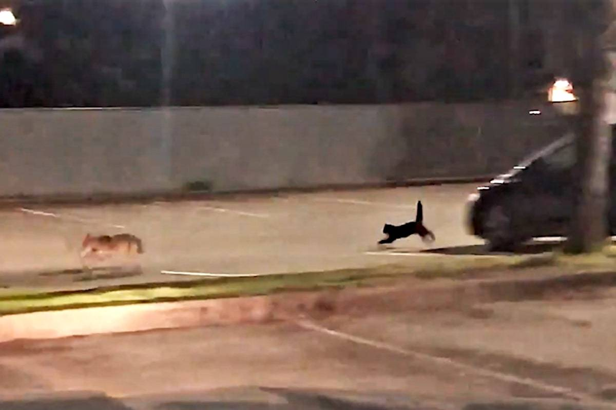 A prowling coyote proved no match for a stray black cat who chased it out of a Port Moody parking lot Friday, May 14. (Twitter/Screen grab)