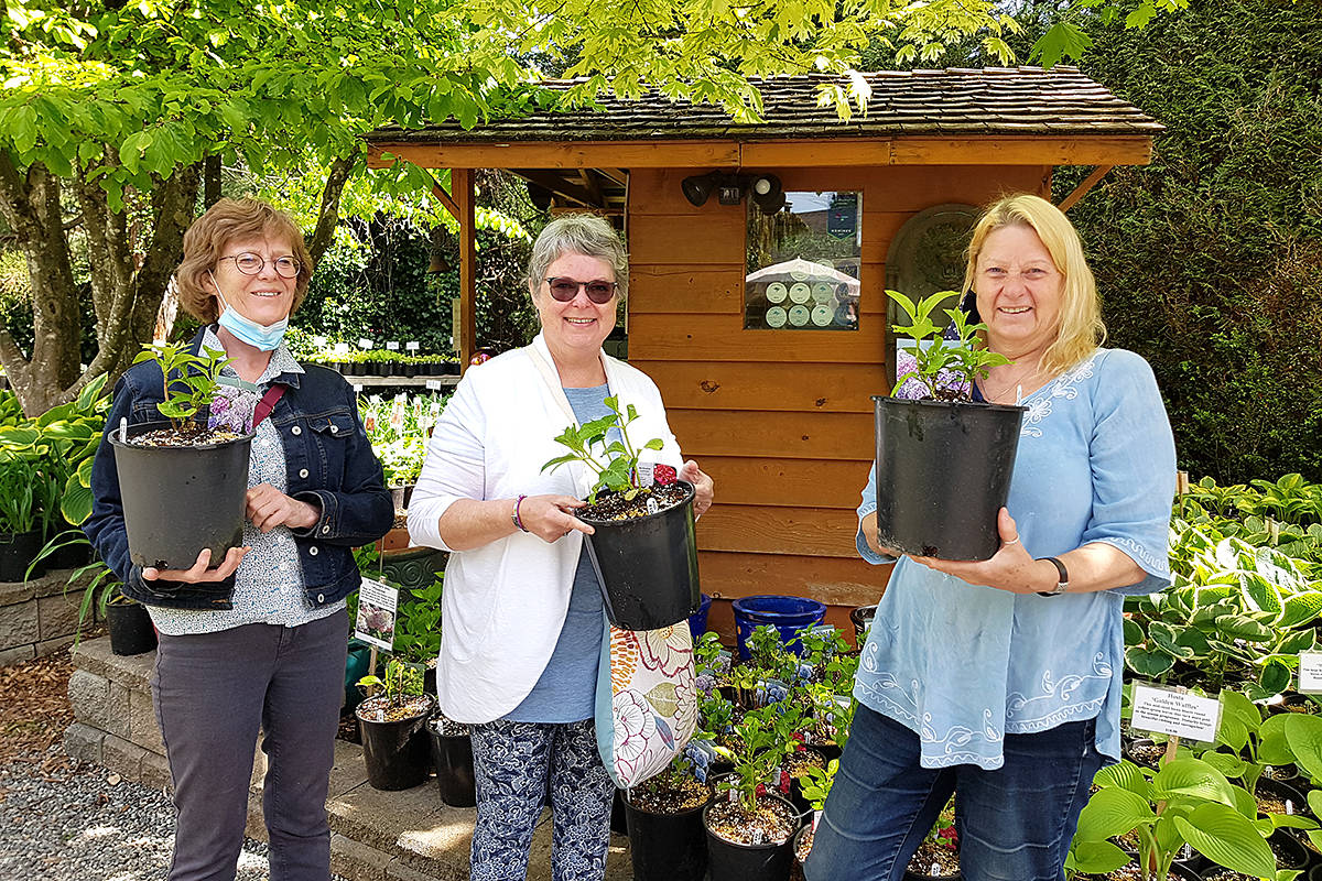 Lynne Bose, Kathleen Hiltz, and Susan Sullivan picked out a new variety of hydrangea during a visit to the Erikson Daylily Garden recently. (Pam Erikson/Langley Advance Times)