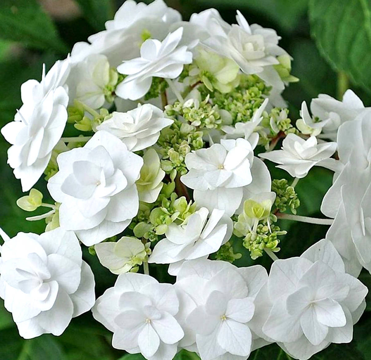 Wedding gown hydrangea (Pam Erikson/Langley Advance Times)