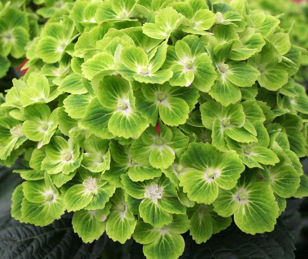 Everlasting green cloud hydrangea (Pam Erikson/Langley Advance Times)