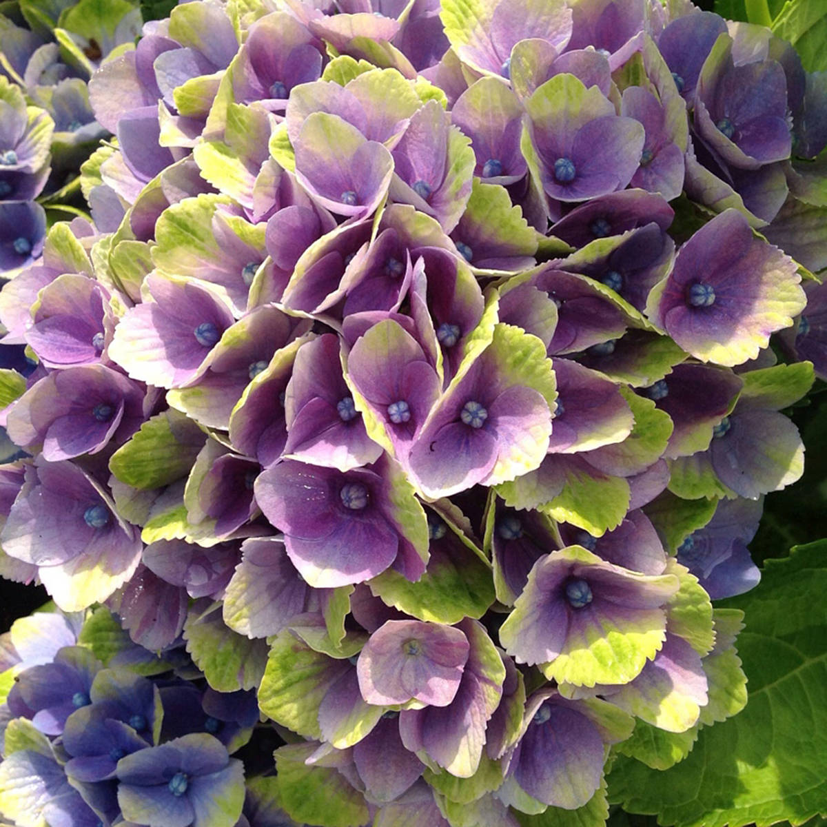 Everlasting amethyst hydrangea (Pam Erikson/Langley Advance Times)