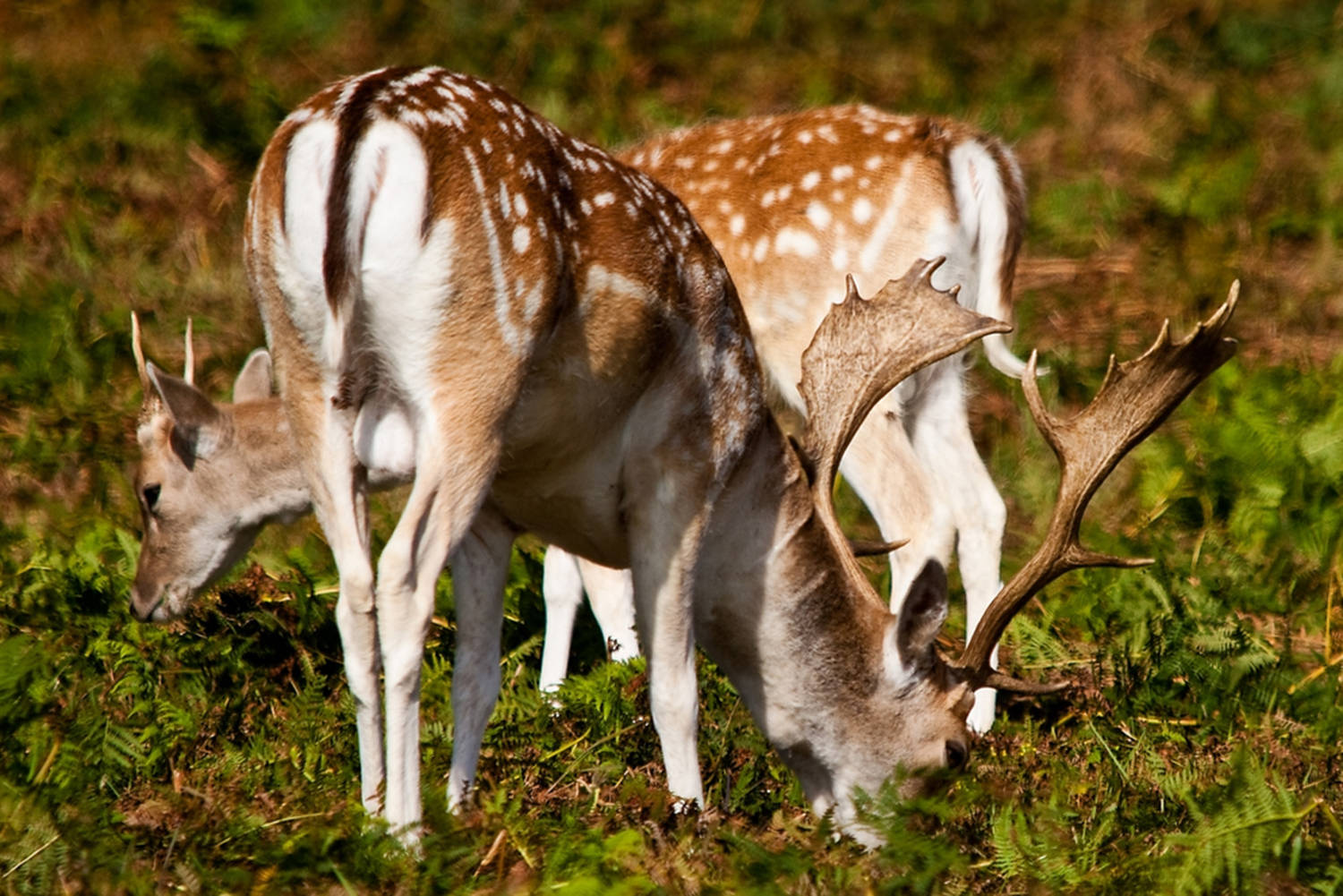Plans to restore the ecology of Sidney Island include the eradication of fallow deer first introduced in the early 1900s. (Parks Canada/Submitted)