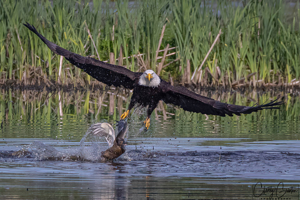 An eagle attacks a mother duck at Panama Flats on May 6. (Christy Grinton photo)
