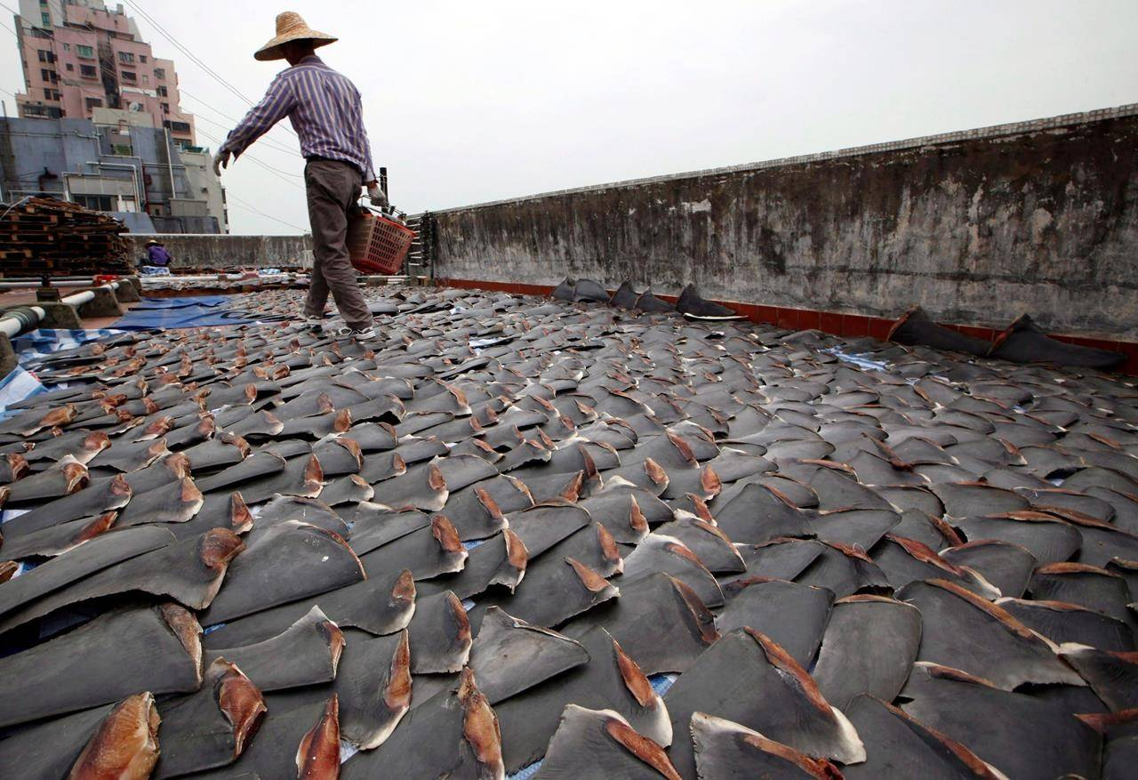 In this Jan. 3, 2013 file photo, a worker collects pieces of shark fins dried on the rooftop of a factory building in Hong Kong. THE CANADIAN PRESS/AP-Kin Cheung