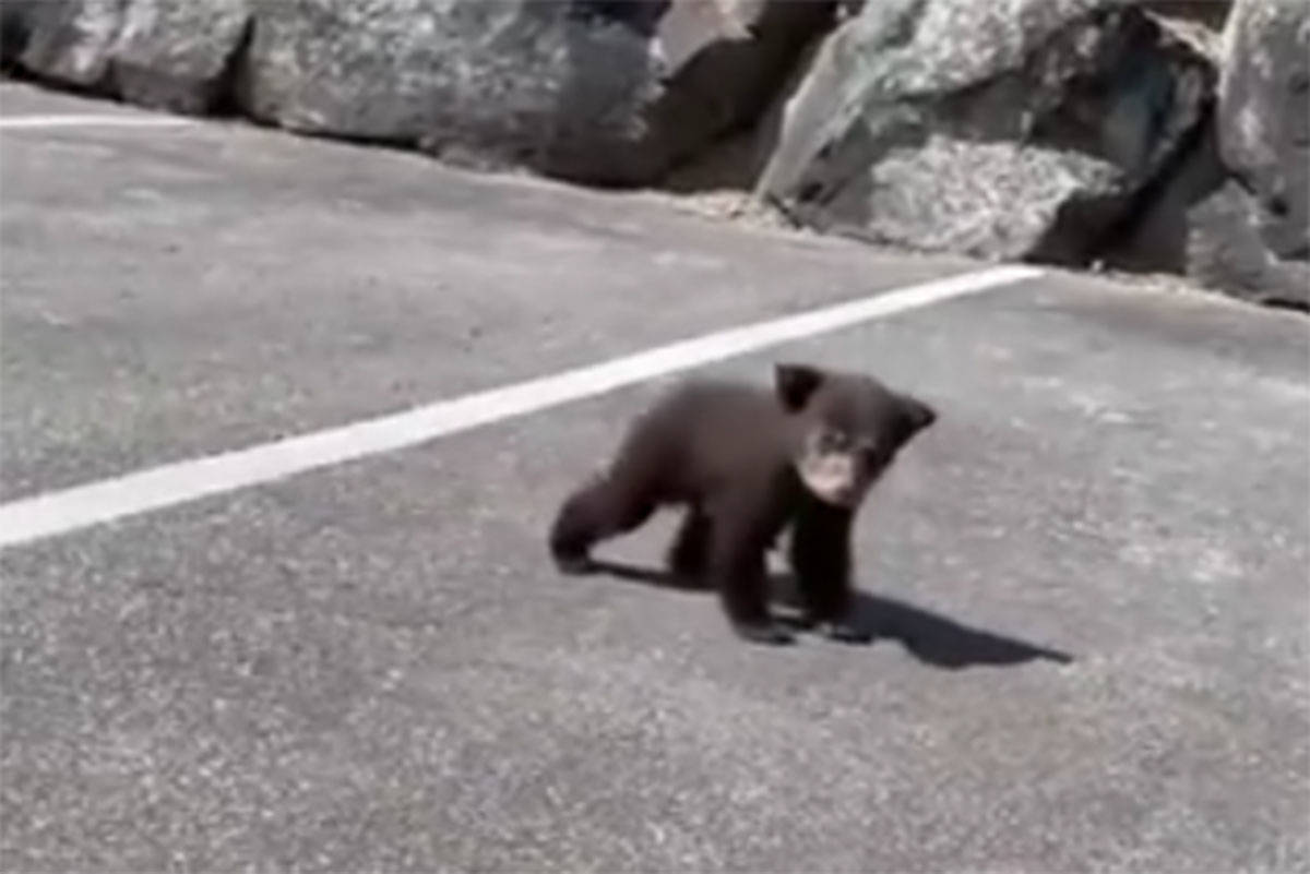 An orphaned black bear cub has been separated from its mother and local animal services are attempting to rescue the animal. (Facebook)