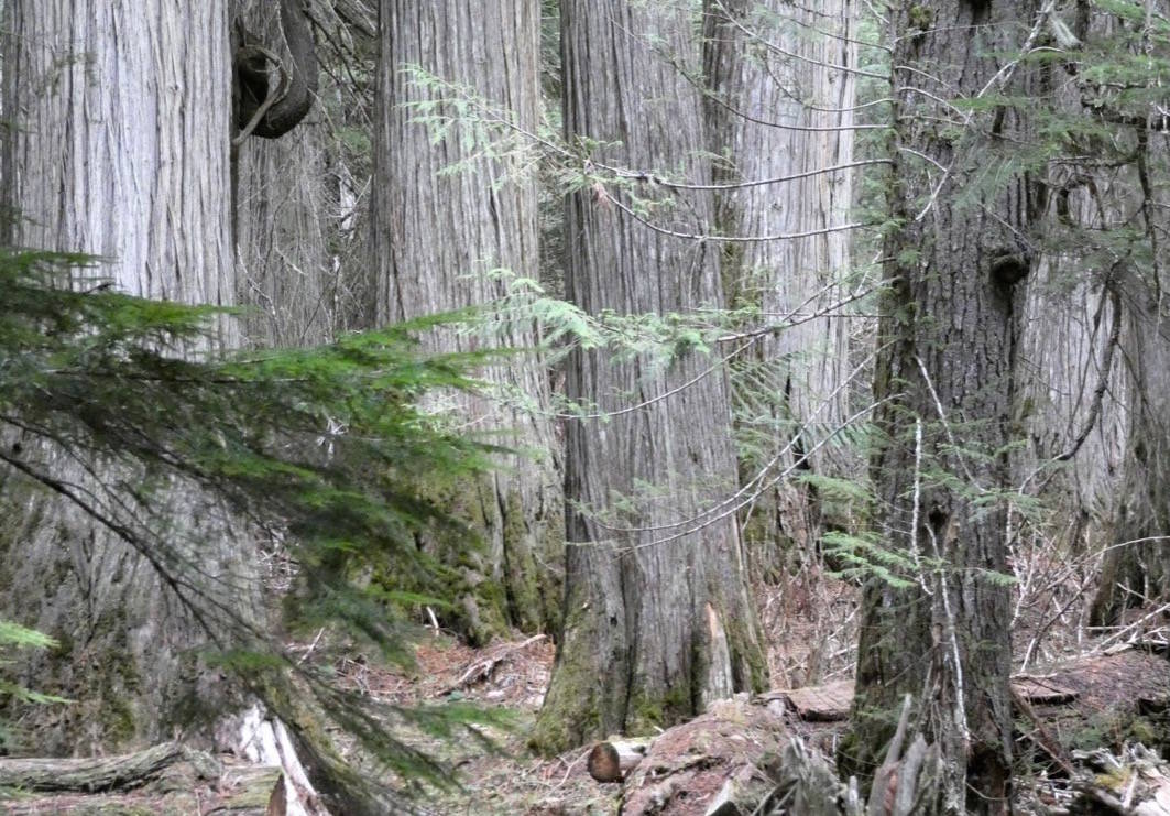 """Old growth in the Lardeau Valley. """"There is basically nothing left like this anywhere, but most valley bottoms in the Kootenays were once like this,"""" says Dr. Rachel Holt of Veridian Ecological Consulting. Photo: Rachel Holt"""