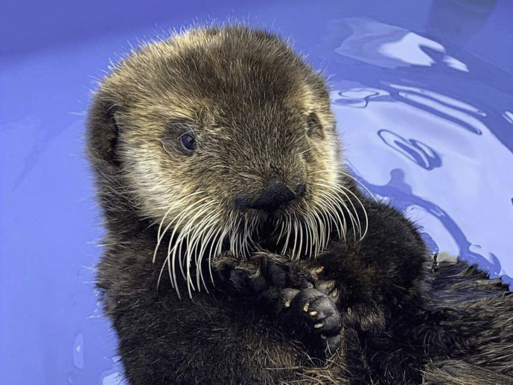 Quatse, the abandoned sea otter pup who was rescued in Port Hardy. (Marine Mammal Rescue Centre photo)