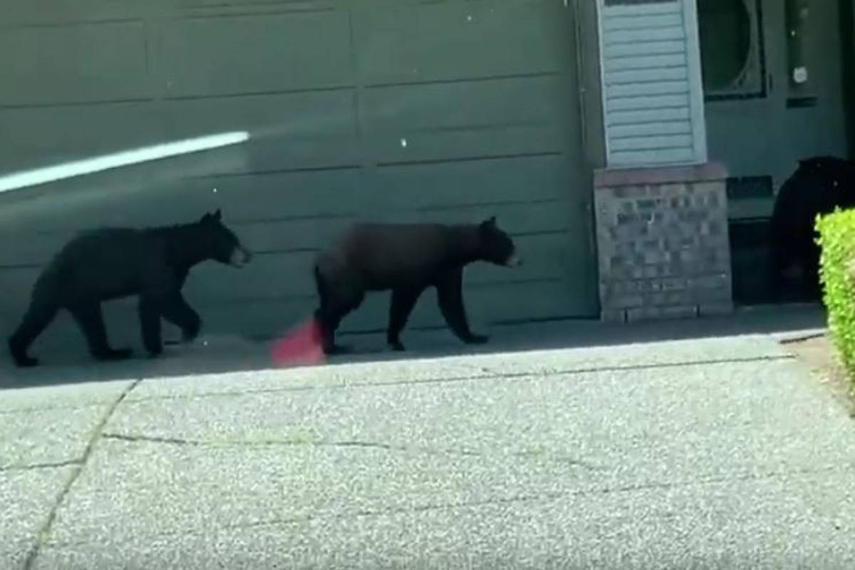 A family of bears was spotted roaming the Fleetwood neighbourhood Saturday. (Jason Ahn YouTube)
