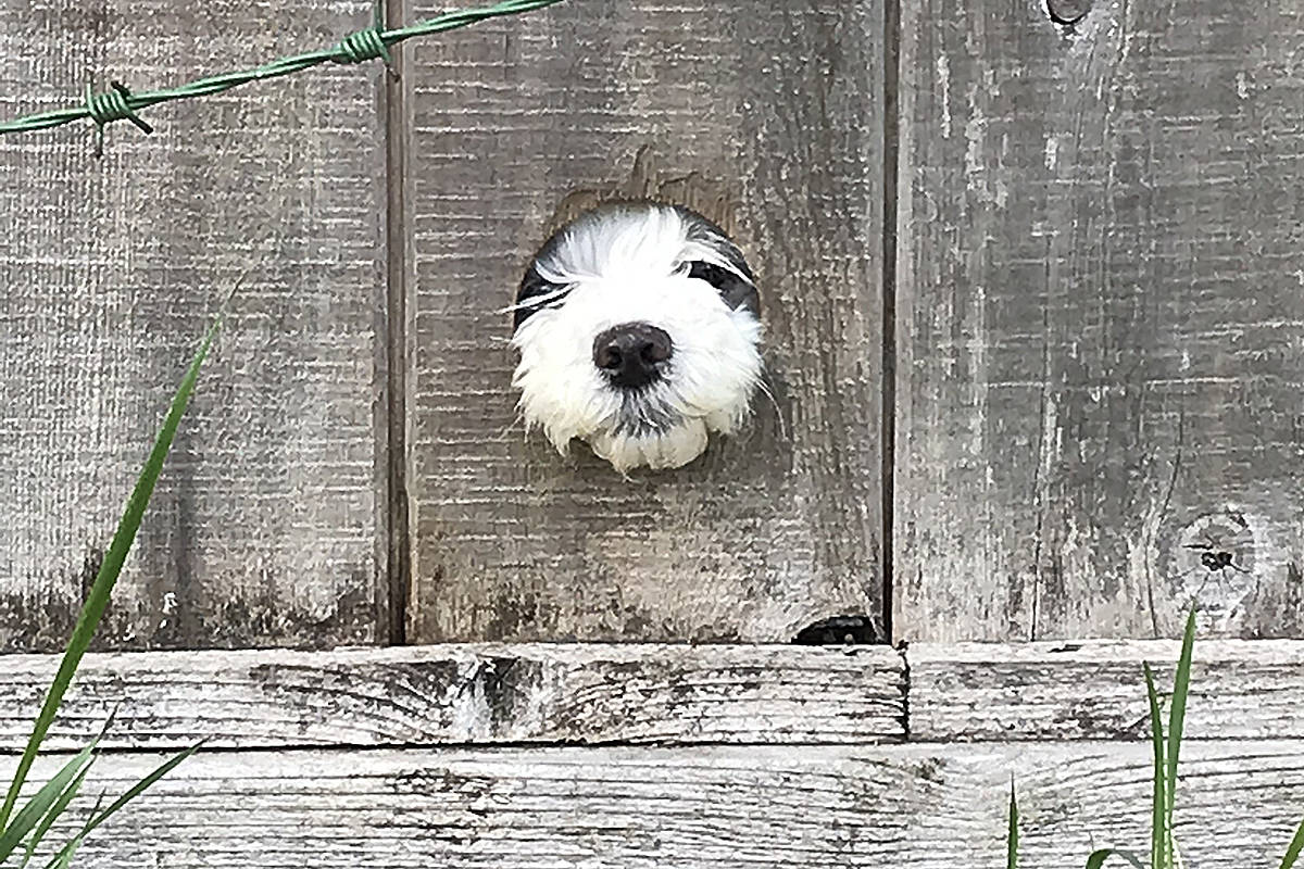 """Langley's Chris Ball recently capture a shot of this little furry gaffer with his nose through the fence, looking out along the trail that runs under the hydro lines in Brookswood. """"This little guy seems just as eager to see life back to normal as the rest of us,"""" Ball said. (Special to Langley Advance Times)"""