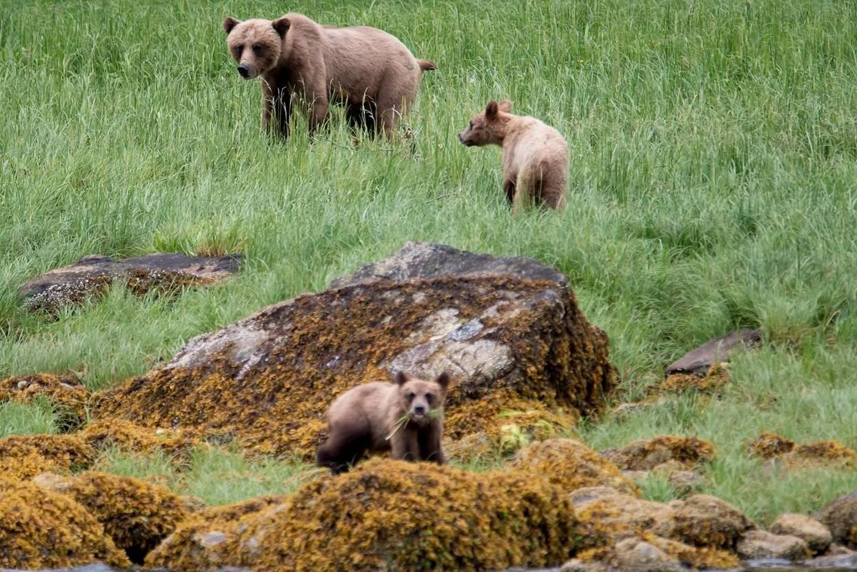 A grizzly bear and its two cubs are seen in the Khutzeymateen Inlet near Prince Rupert, B.C., Friday, June, 22, 2018. THE CANADIAN PRESS Jonathan Hayward