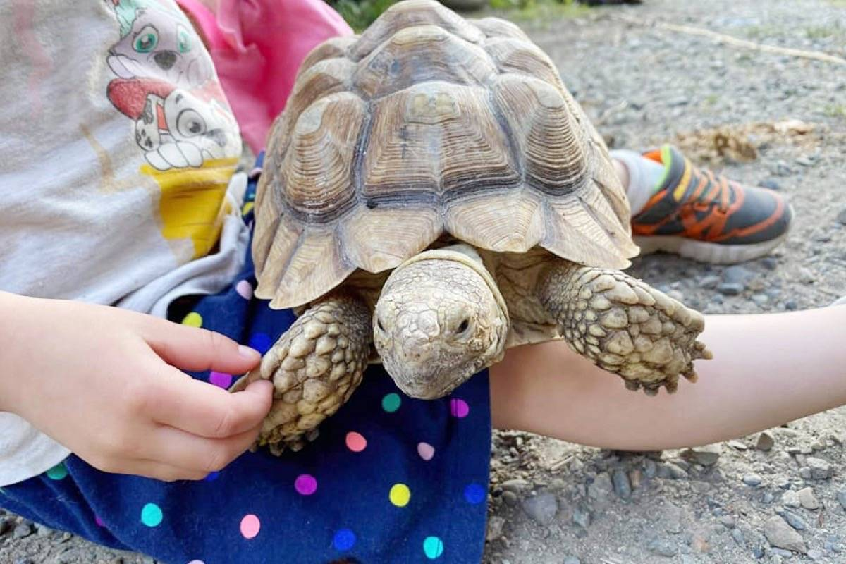 An African spur-thighed tortoise that was stolen from a property in Chilliwack. (Facebook/Jennifer McLaren)