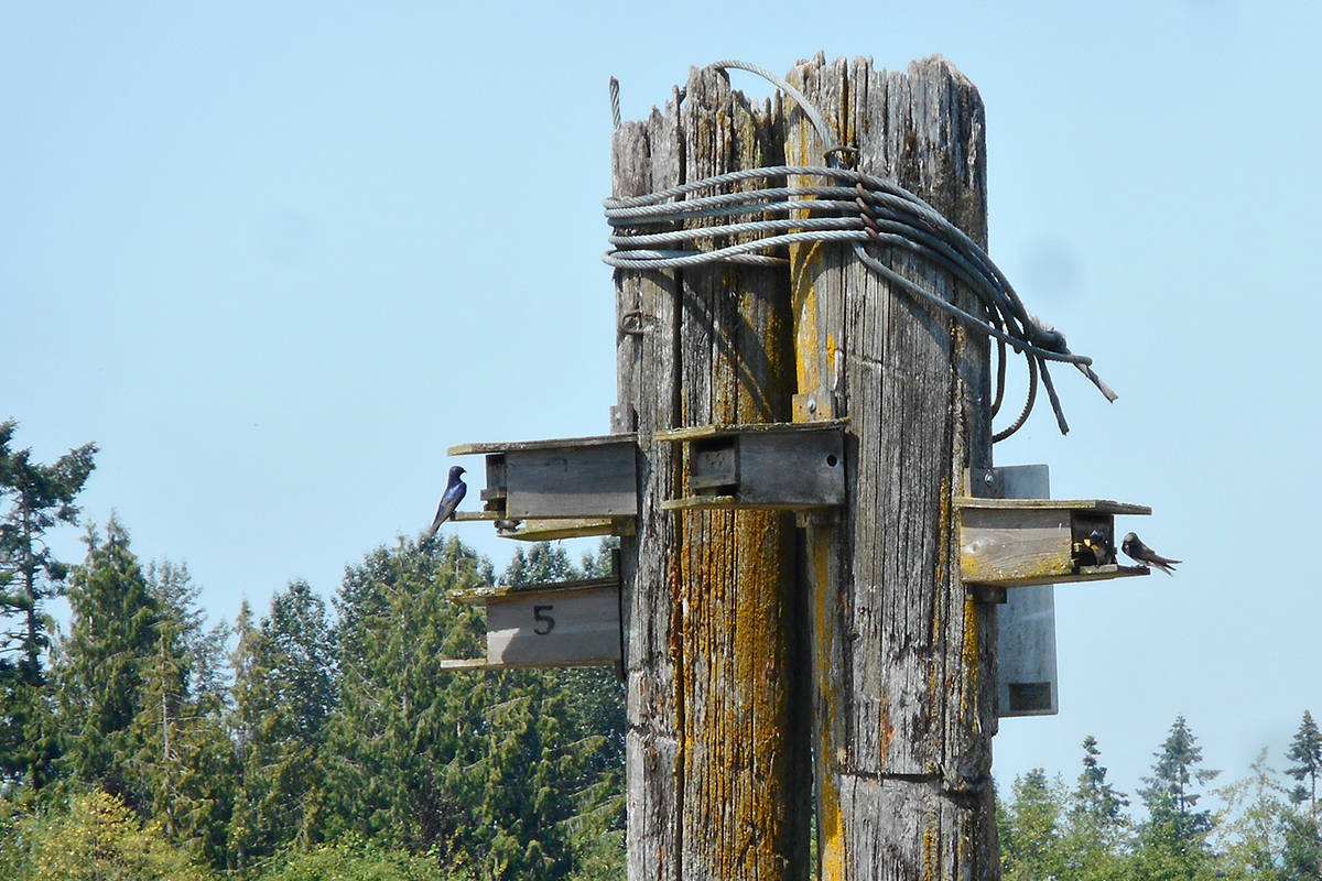 Seen in this 2018 photo, Purple Martin birds had just begun to nest in a handmade habitat in the Fraser River in Langley. The photo was taken before an errant log boom destroyed the piling and left at least four nesting pairs homeless. (Lisa Dreves/Special to Langley Advance Times)