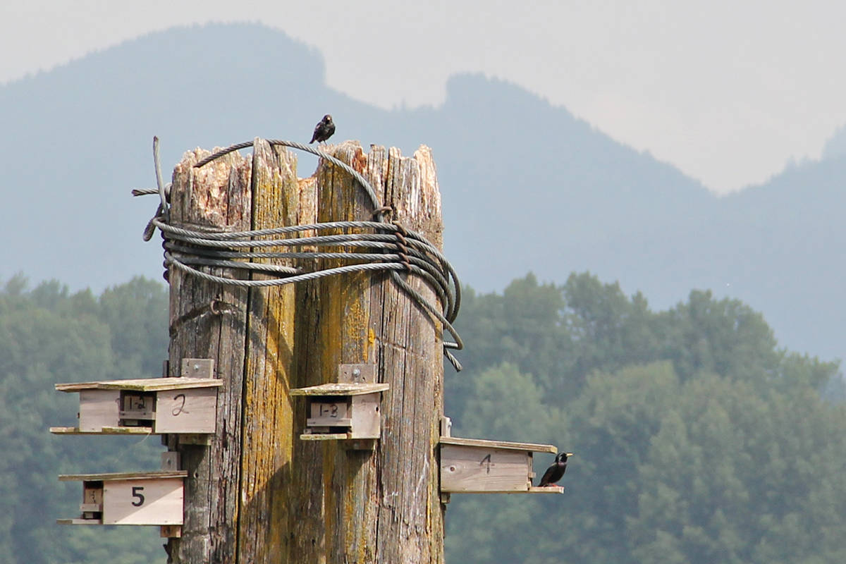 Purple Martin birds had just begun to nest in a handmade habitat in the Fraser River in Langley. The photo was taken before an errant log boom destroyed the piling and left at least four nesting pairs homeless. (Anne Gosse/Special to Langley Advance Times)