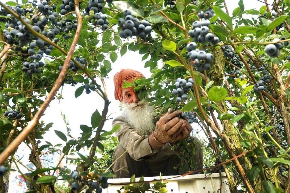 Blueberry harvest in the Fraser Valley relies mainly on older Indo-Canadian workers provided through labour brokers. (Maple Ridge News)