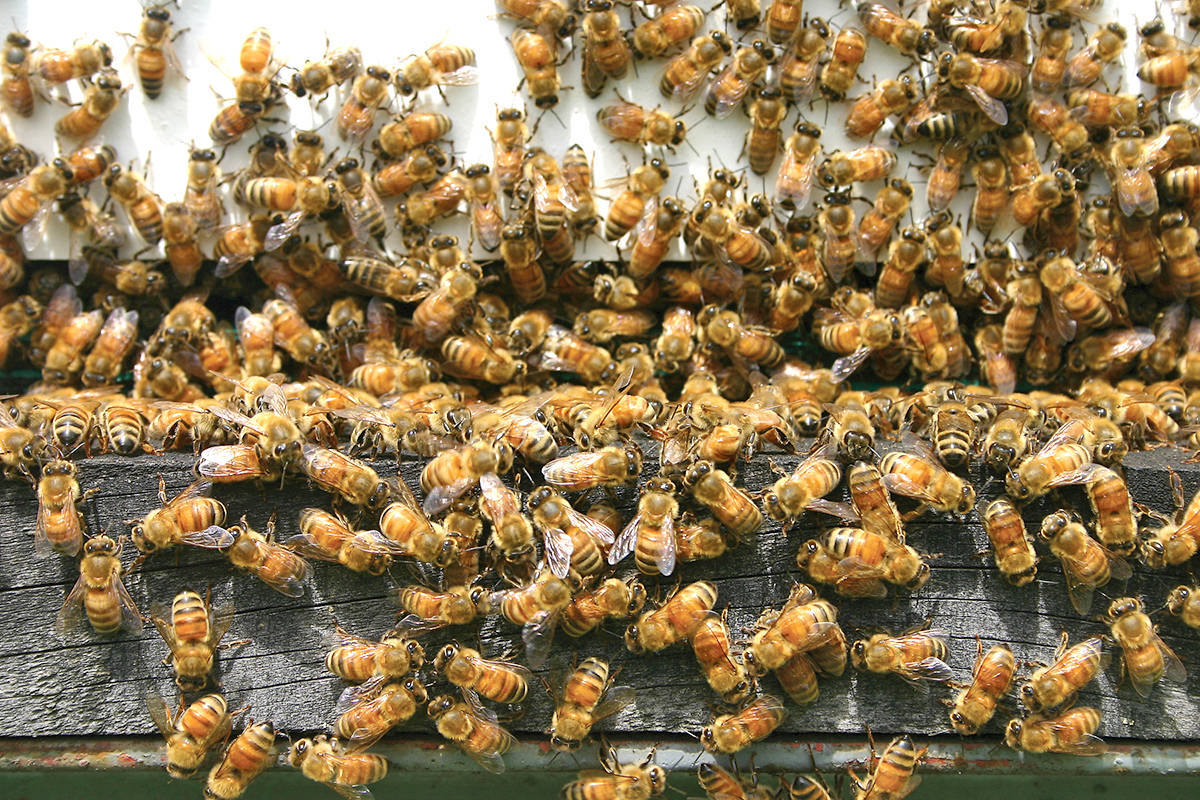 A Langley resident would like to see the government move on protecting bees. (Black Press Media files)