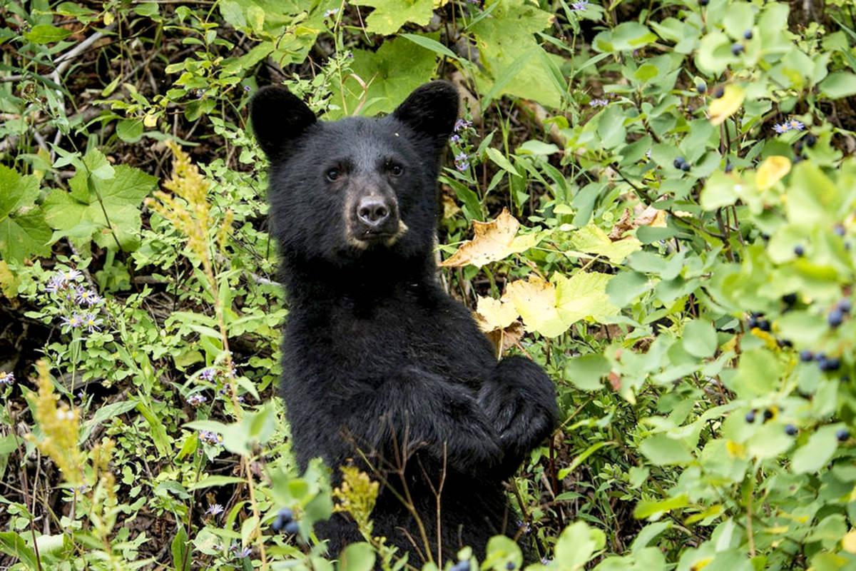 Black bear. (Black Press Media files)