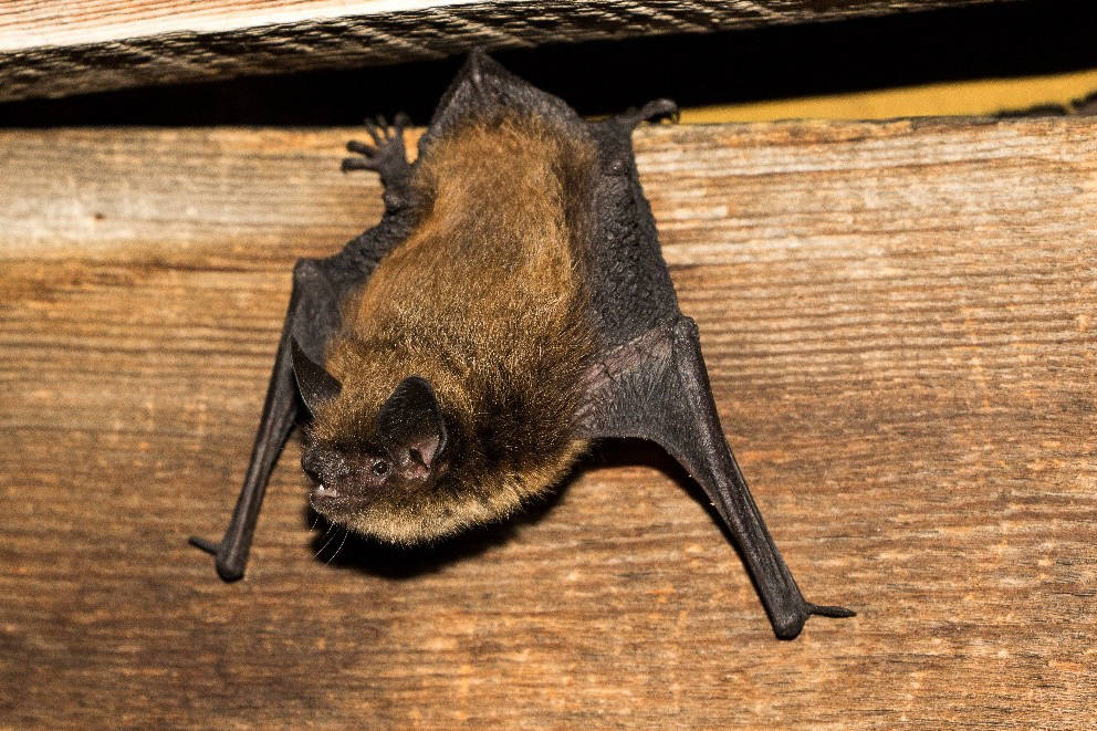 The Little Brown Myotis occurs across British Columbia but is threatened by white-nose syndrome, a bat disease. (Photo by B. Paterson)