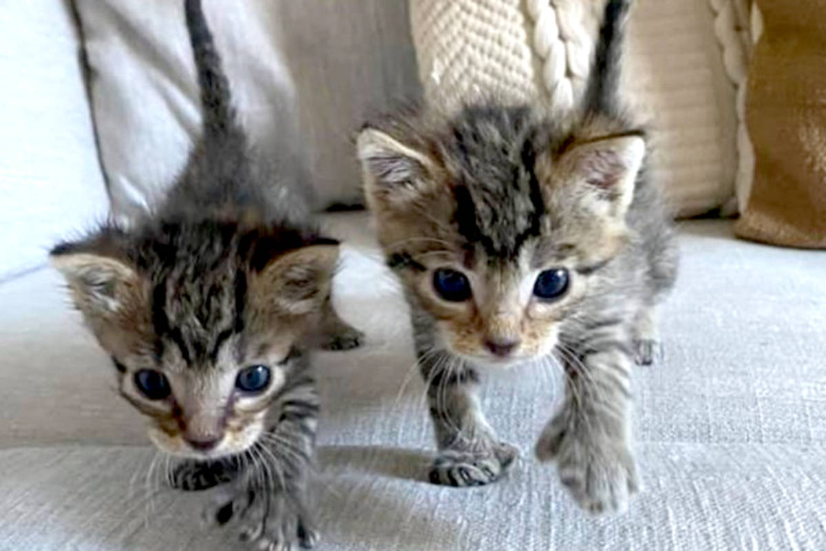 Hidey and Sneaky are two stowaways from the U.S. that ended up at Langley Animal Protection Society. (Special to The Star)
