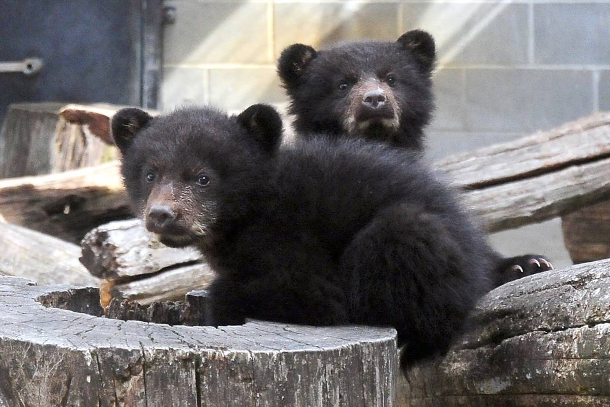 The North Island Wildlife Recovery Centre in Errington has two new black bear orphaned cubs in care. (Michael Briones photo)