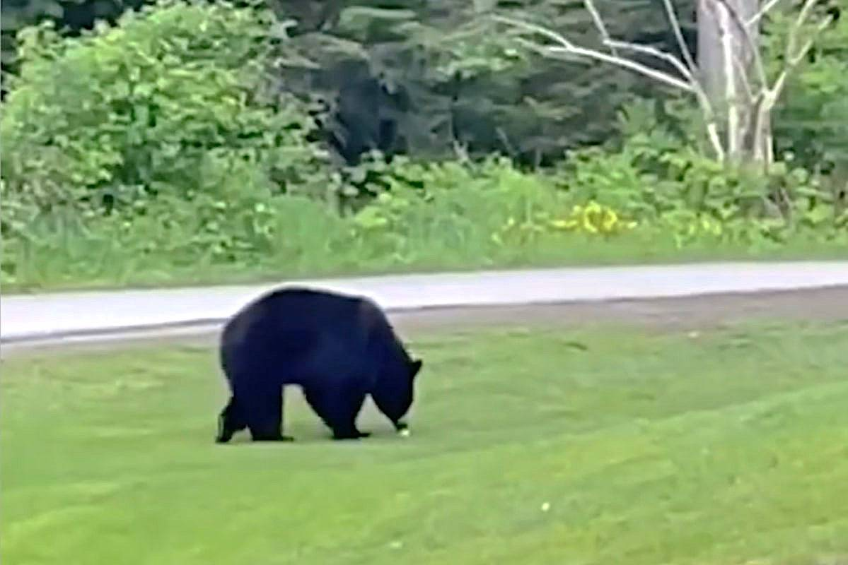 A group of Coquitlam golfers was interrupted on Tuesday, May 25, 2021, by a black bear who bit a player's ball and tossed it back towards the group. (Screen grab/Mark Pettie)