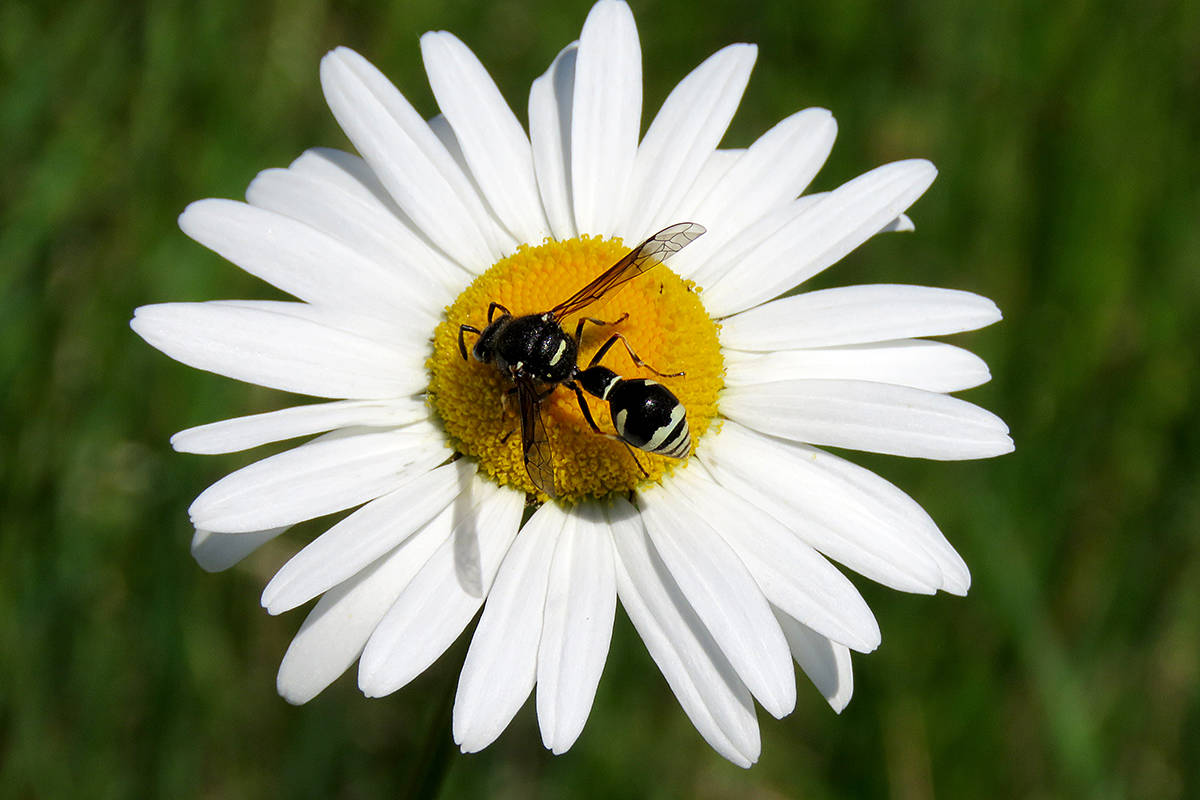 This wasp was found on an oxeye daisy. (Lisa Dreves/Special to Langley Advance Times)