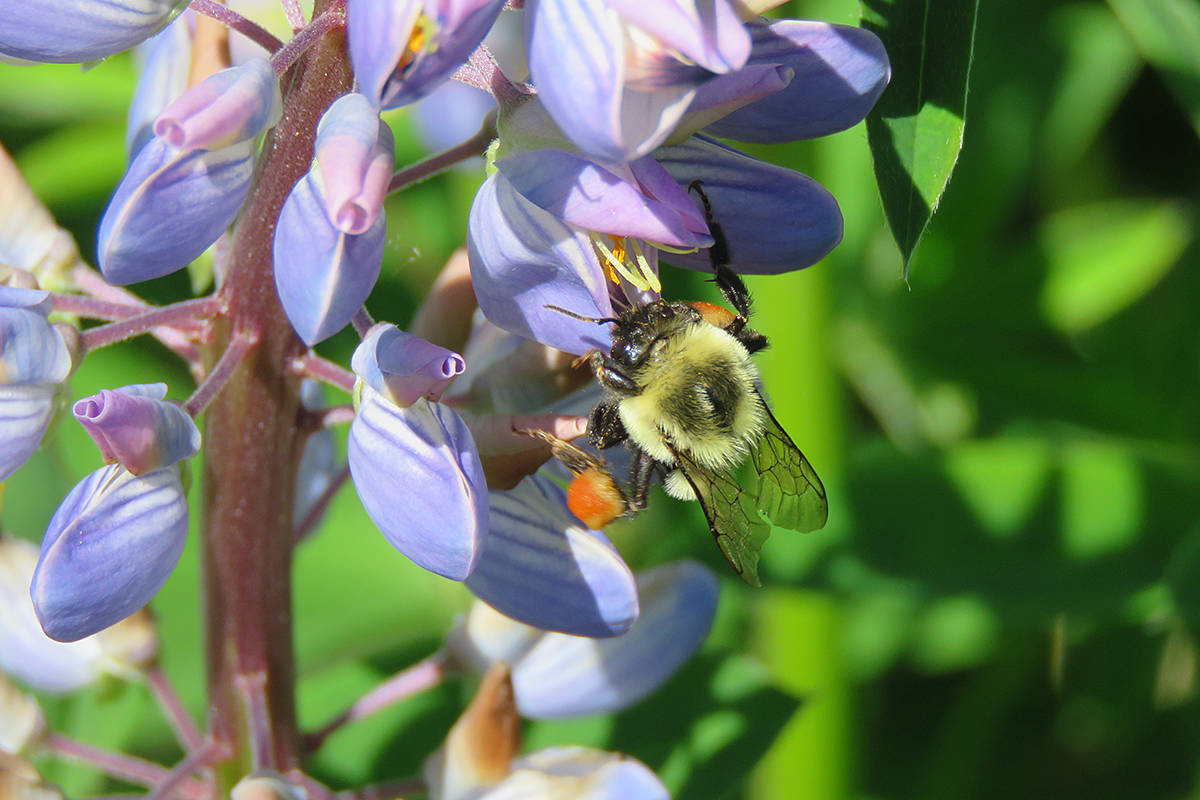 Bumblebee stops for some nutrients. (Lisa Dreves/Special to Langley Advance Times)