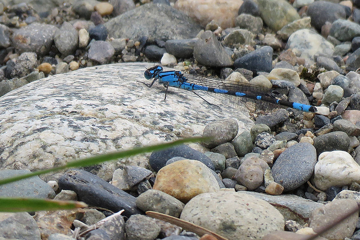 Northern bluet (Lisa Dreves/Special to Langley Advance Times)