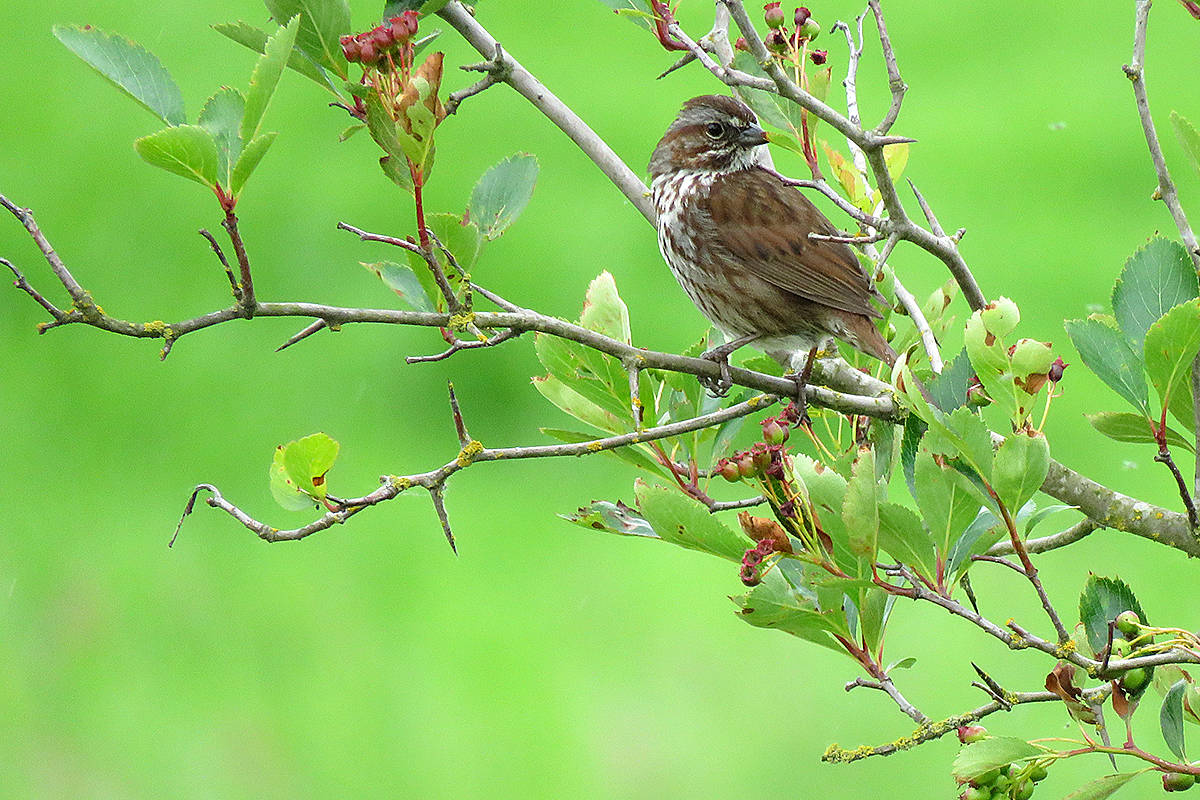 Song sparrow (Lisa Dreves/Special to Langley Advance Times)