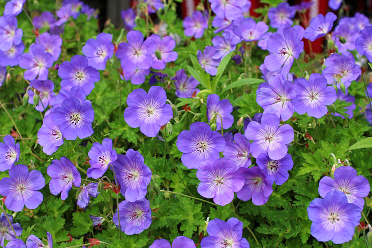 Rozanne geranium does not need to be cut back, like some hardy geraniums. (Pam Erikson/Special to Langley Advance Times)
