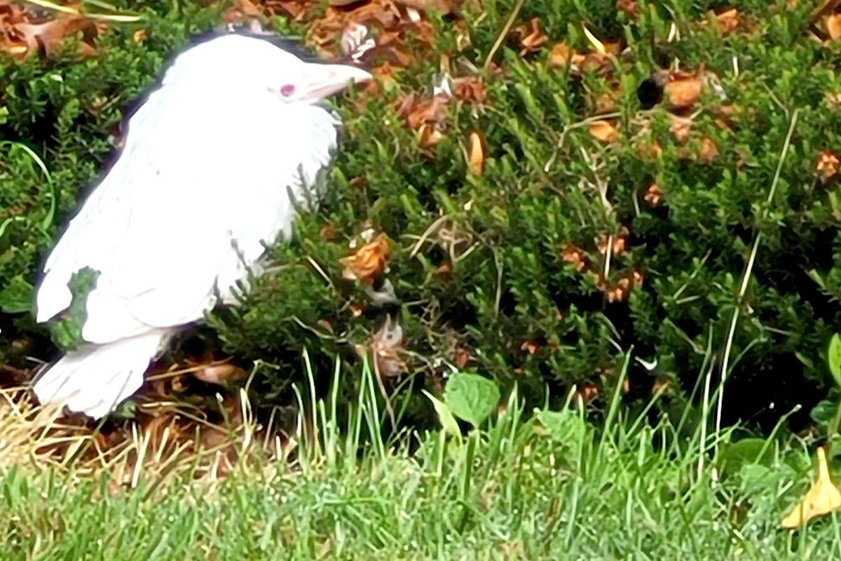 A rare albino crow has been found nesting in an Aldergrove backyard. (Nada Kumar/Special to The Star)