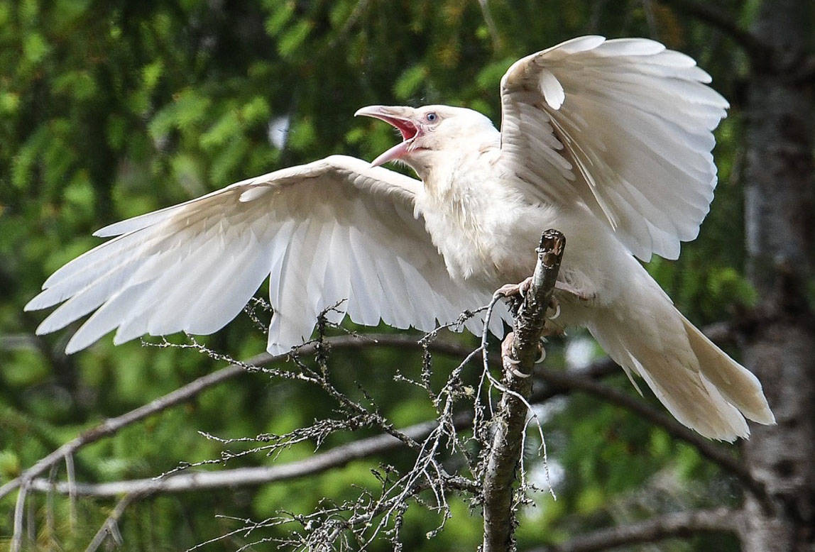 This young fledgling white raven was spotted in the Coombs area on May 16. (Mike Yip photo)