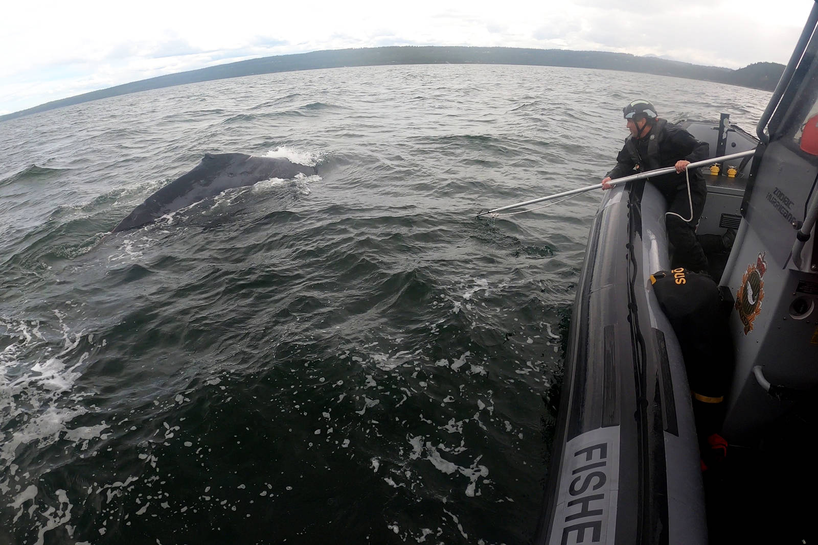 Members of the Department of Fisheries and Oceans' Marine Mammal Response Program rescued an adult humpback what that was entangled in commercial fishing gear in the waters off of Entrance Island on Thursday, June 10. (Photo courtesy Marine Mammal Response Program)
