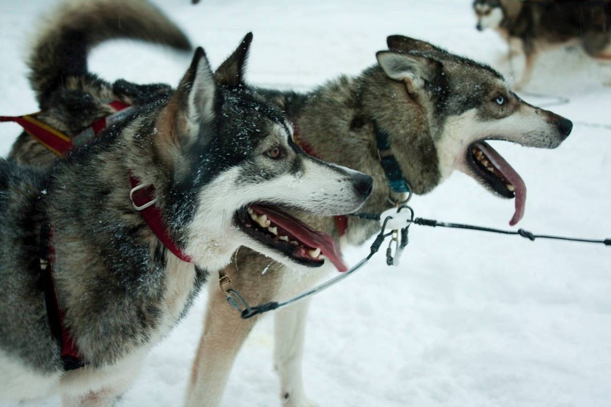 Forty sled dogs were seized by the BC SPCA from a Salmo kennel in February. A recent ruling has decided the dogs won't be returned. Photo: Gounsil/Flickr