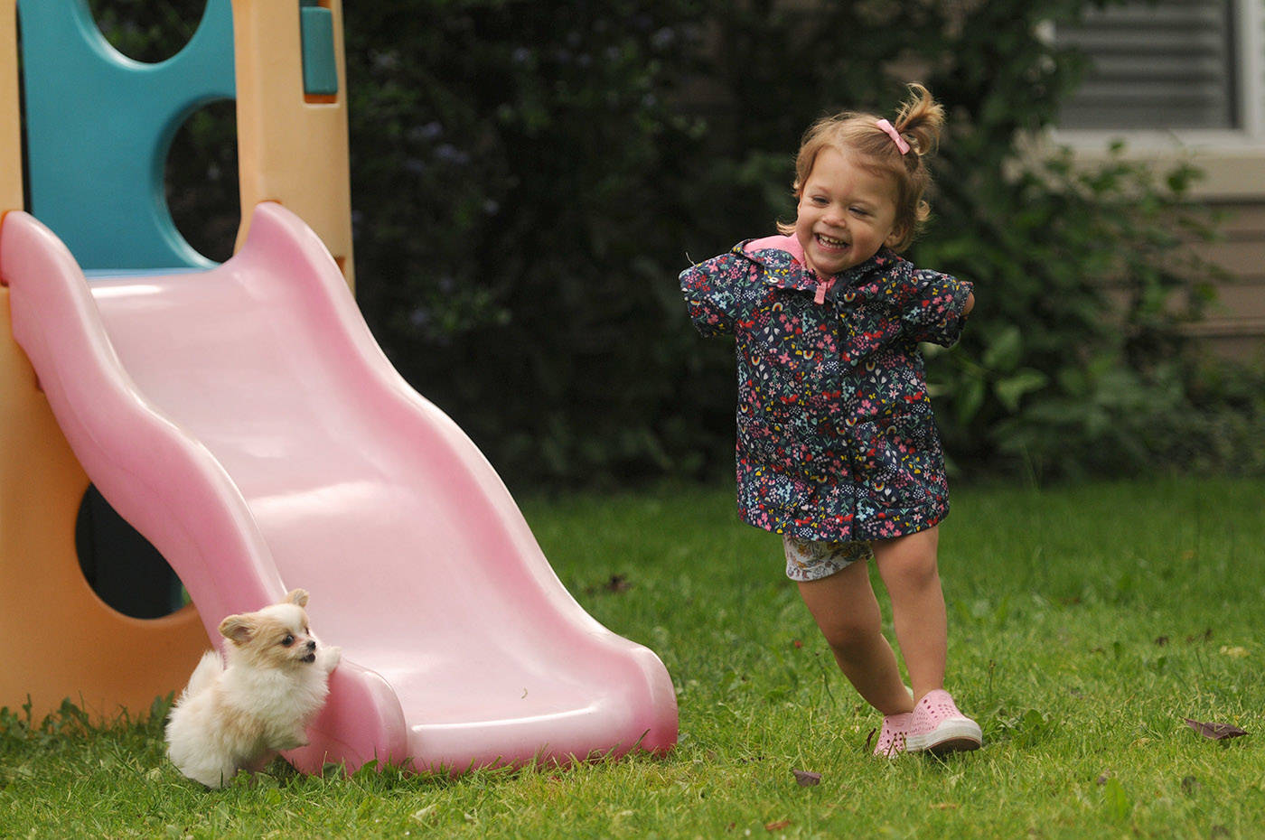 Two-year-old Ivy McLeod laughs while playing with Lucky the puppy outside their Chilliwack home on Thursday, June 10, 2021. (Jenna Hauck/ Chilliwack Progress)