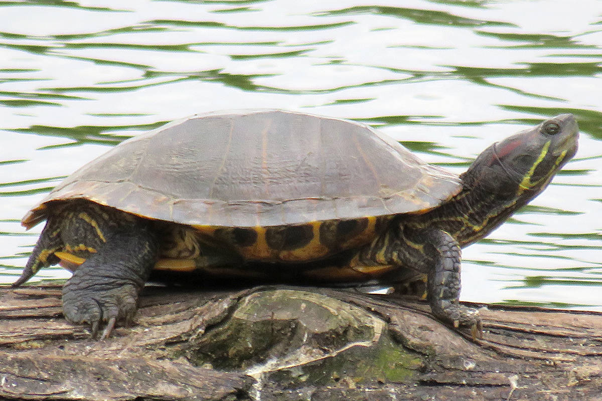 According to Langley's Larry Worledge, Brydon Park is a hidden gem in downtown Langley City. It offers a short walking trail, and is home to many birds and even turtles, like this on spotted sunbathing on a log in the lagoon. (Special to Langley Advance Times)