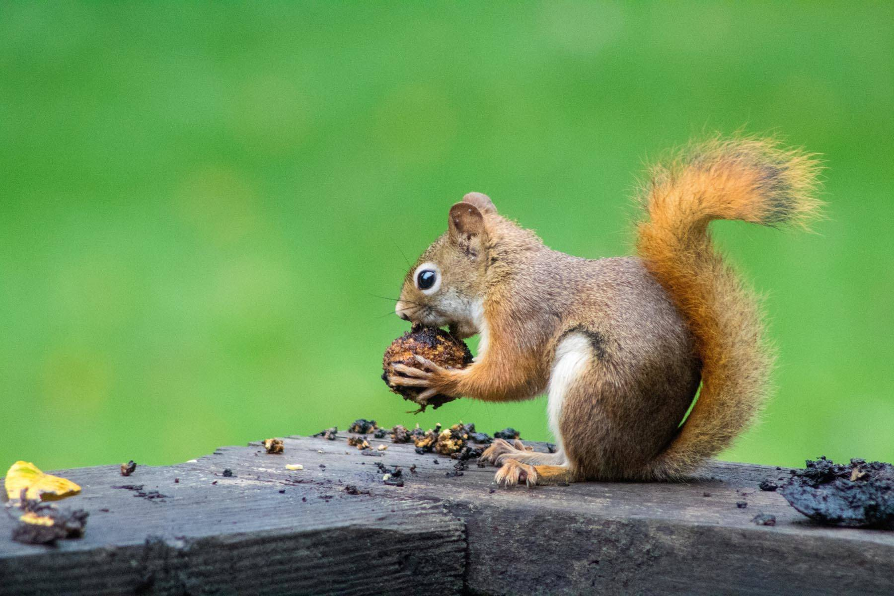 Squirrels are responsible for most of U.S. power outages. Black Press file photo
