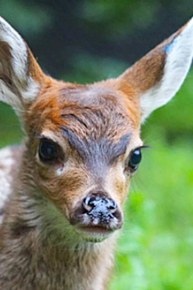A fawn separated from his mother by a well-meaning homeowner in Maple Ridge is a cautionary tale, say Conservation officers and staff at Langley's Critter Care wildlife sanctuary. (Critter Care/Special to the Langley Advance Times)