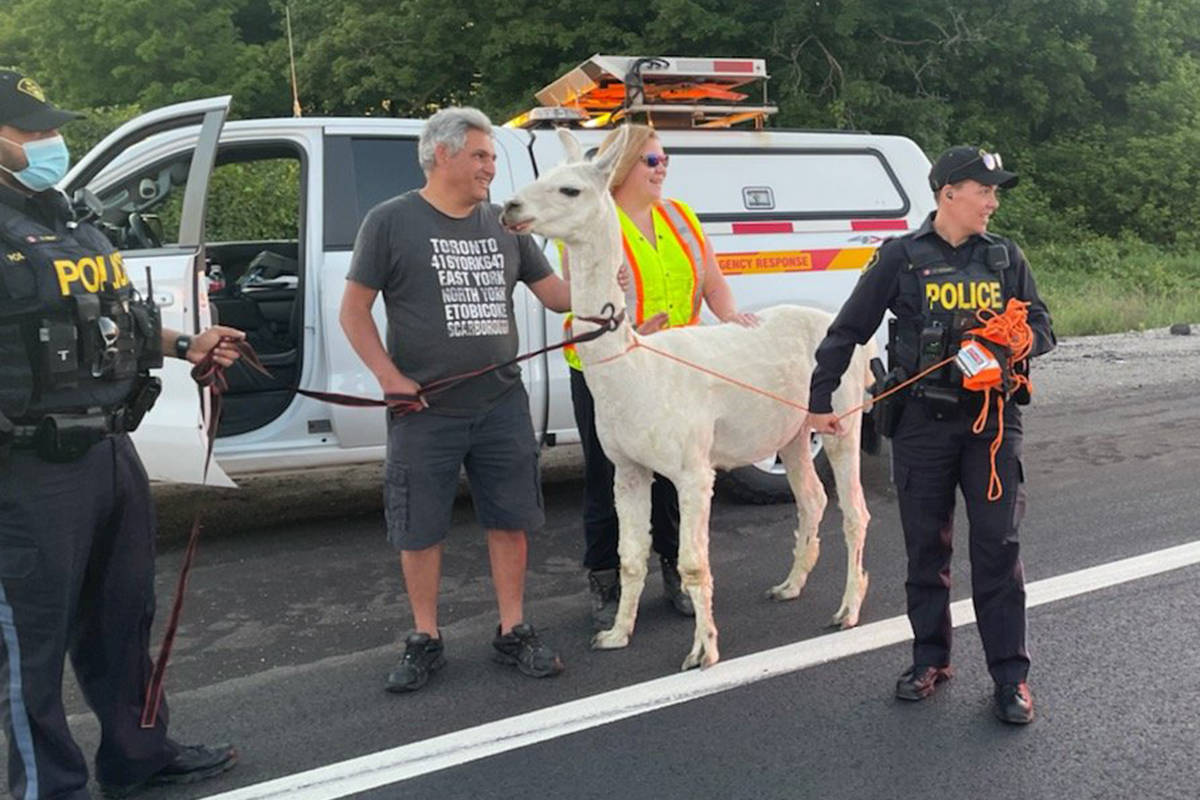 A llama on the loose on an Ontario highway has been reunited with its owner on Wednesday, June 16, 2021. (OPP Highway Safety Division)
