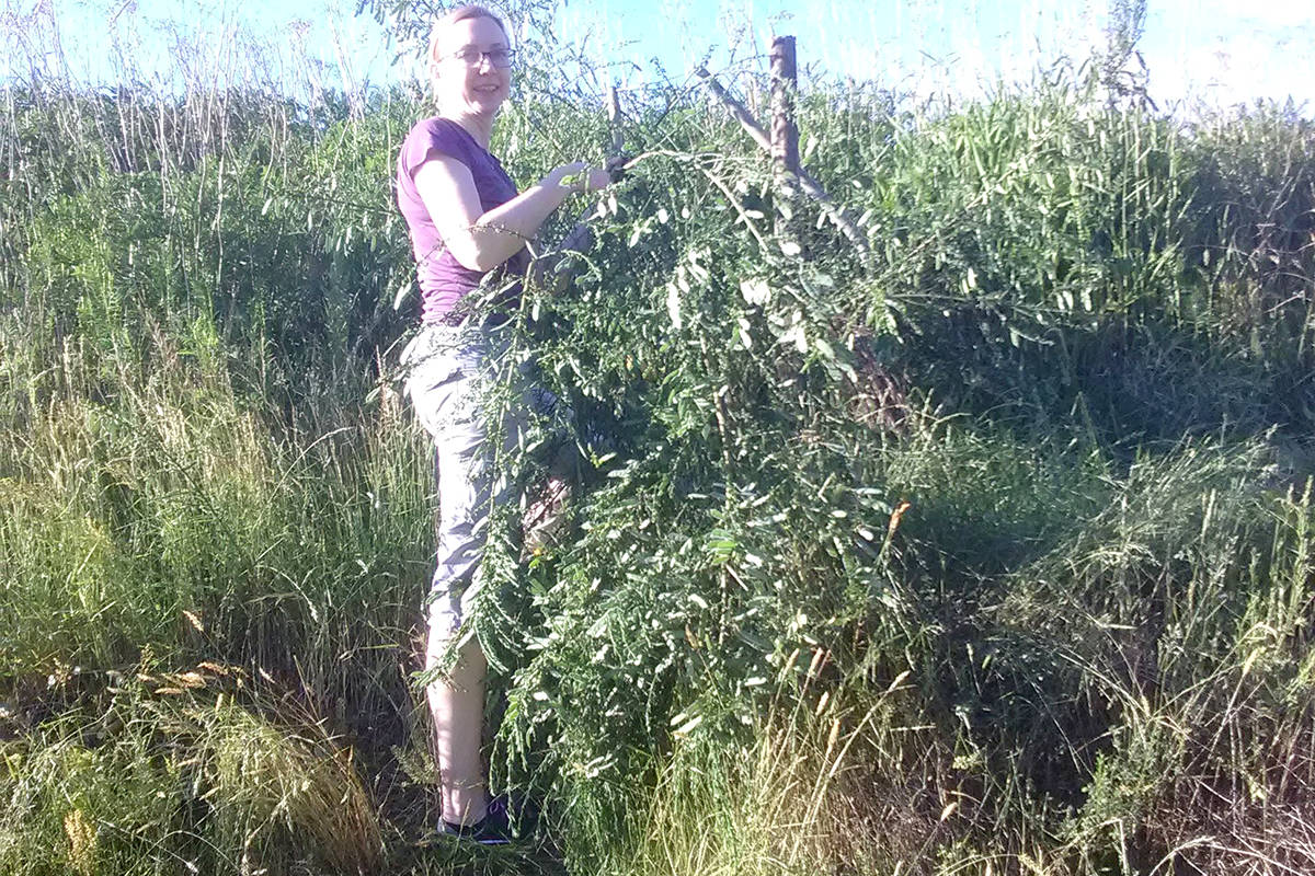 Jessica Horst, a volunteer with the Bertrand Creek Enhancement Society, picked Scotch Broom at Jackman Wetlands on Wednesday night. (Lisa Dreves/Special to The Star)