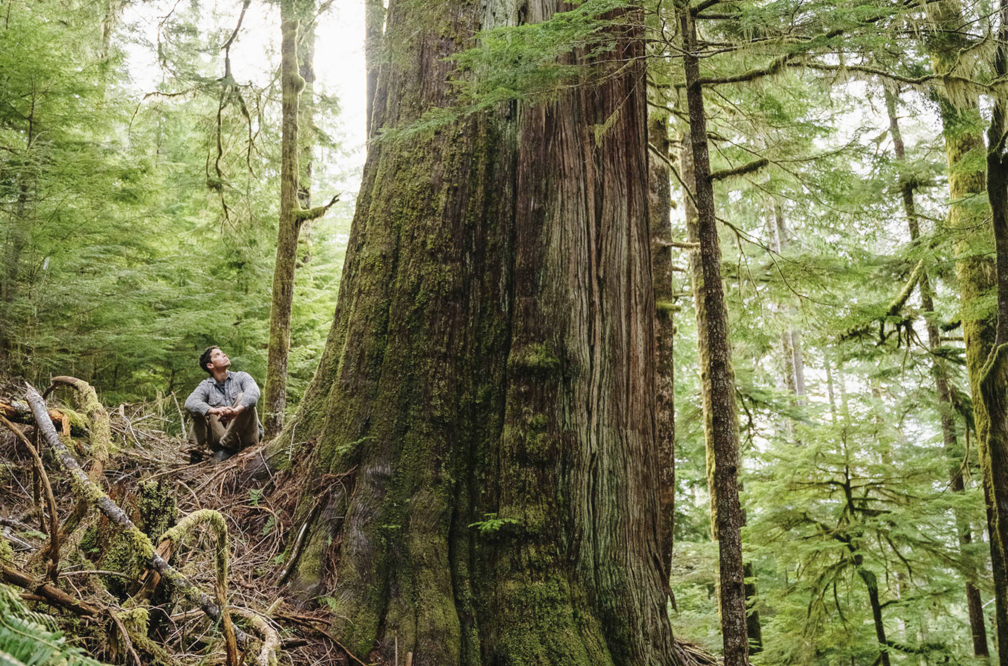 An old growth cedar stands in a cut-block within the Caycuse Valley. More than 100 prominent Canadians, have signed an open letter calling for the immediate protection of all remaining old-growth forests in B.C. (Submitted)