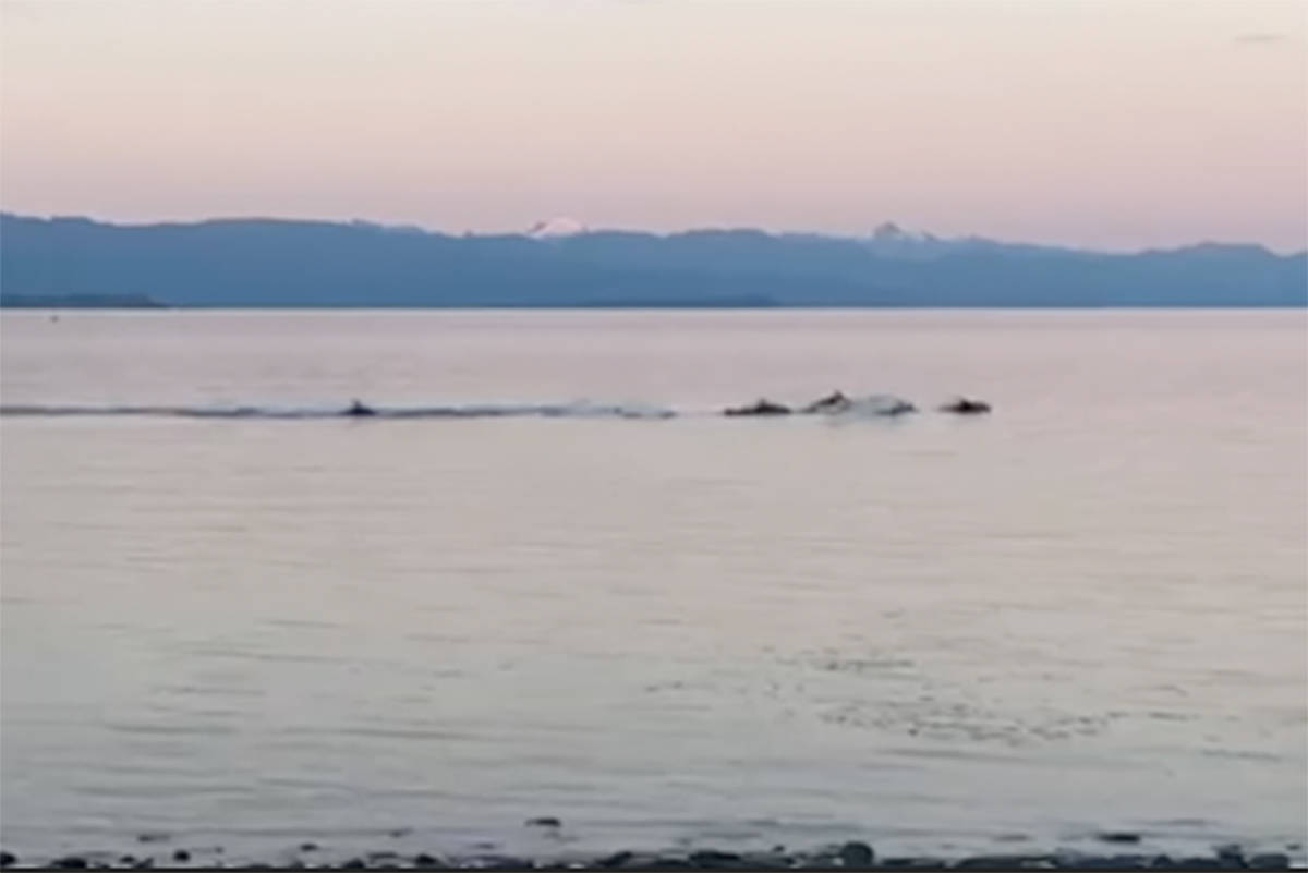 A small pod of Pacific white-sided dolphins pass by close to shore in Campbell River June 16, 2021. Still capture from video courtesy of Kimberly Hart