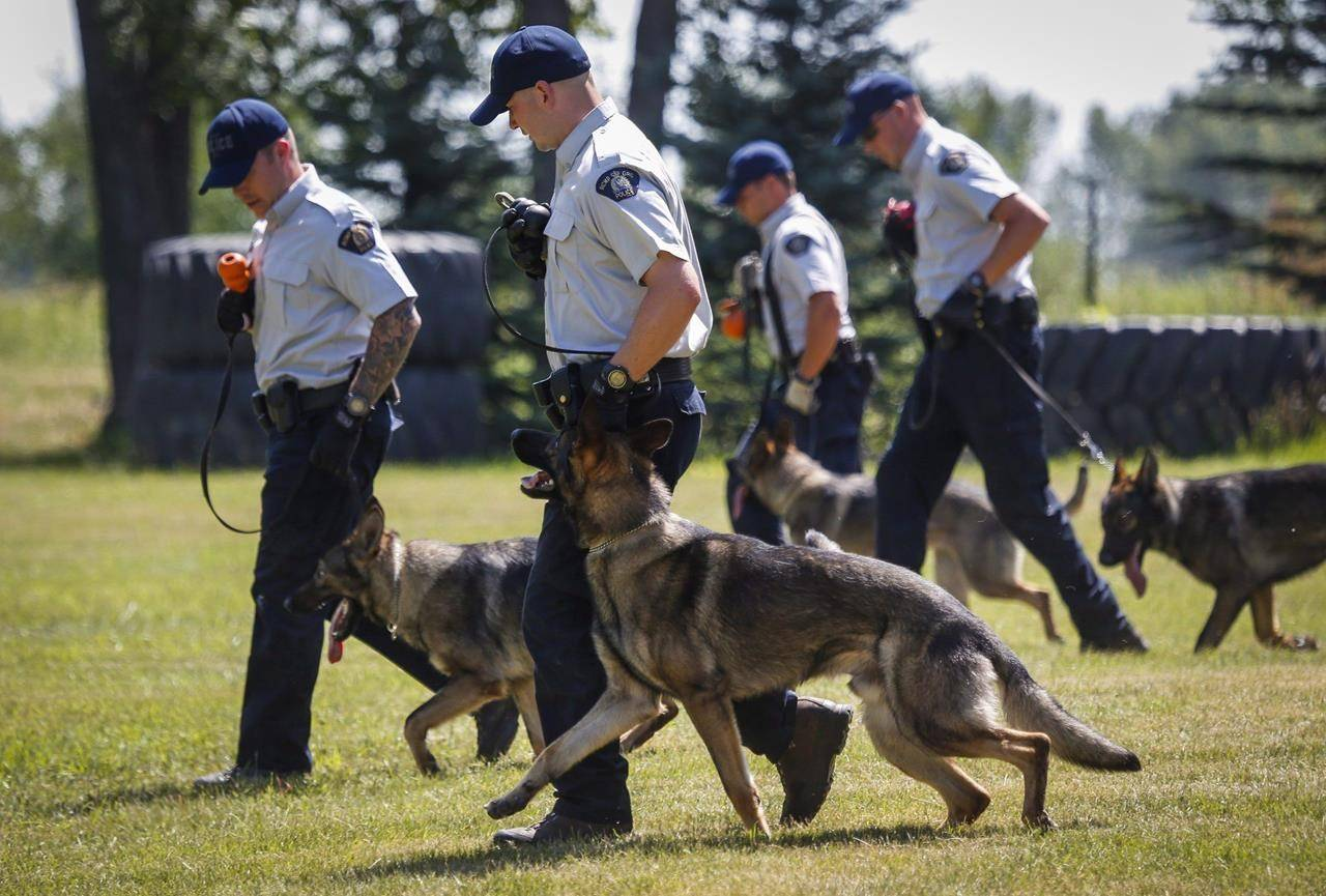 Police officers and their dogs undergo training at the RCMP Police Dog Services training centre in Innisfail, Alta., on Wednesday, July 15, 2015. Mounties say they are searching for an armed and dangerous man near a provincial park in northern Alberta who is believed to have shot and killed a service dog during a police chase. THE CANADIAN PRESS/Jeff McIntosh