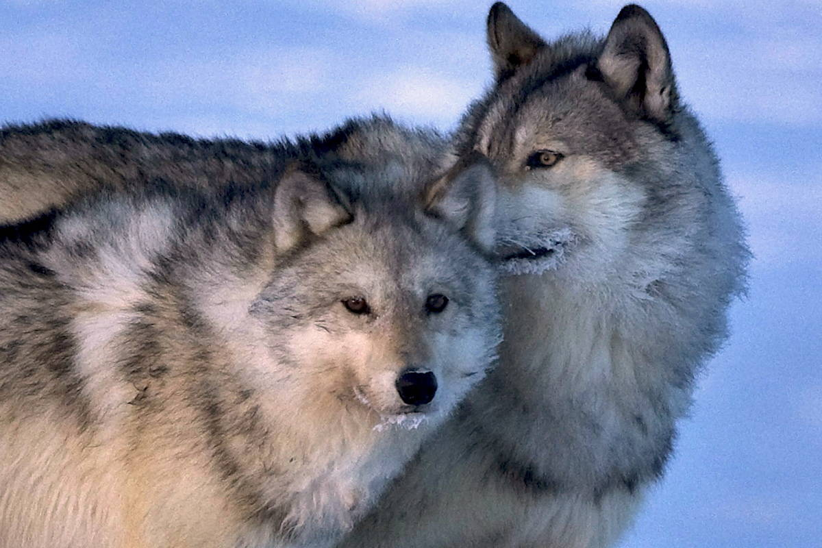 New research suggests wolves can be steered away from the endangered caribou herds they prey on by making the man-made trails they use to hunt harder to move along. THE CANADIAN PRESS/Nathan Denette