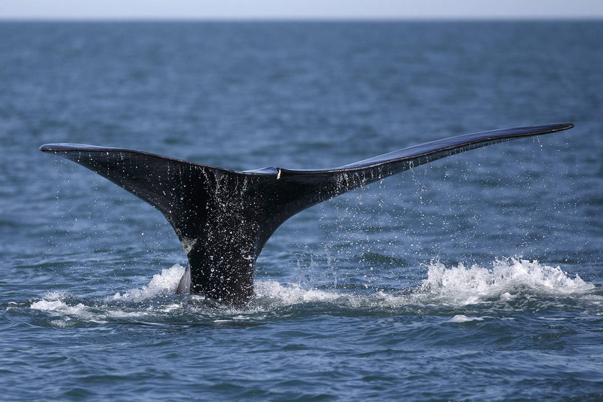 FILE - In this March 28, 2018, file photo, a North Atlantic right whale breaches the surface of Cape Cod bay off the coast of Plymouth, Mass. (AP Photo/Michael Dwyer, File)
