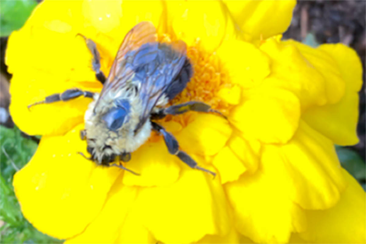 Colleen Kelly Newton took a picture of a bee busy pollinating her backyard garden in Walnut Grove. (Special to Langley Advance Times)