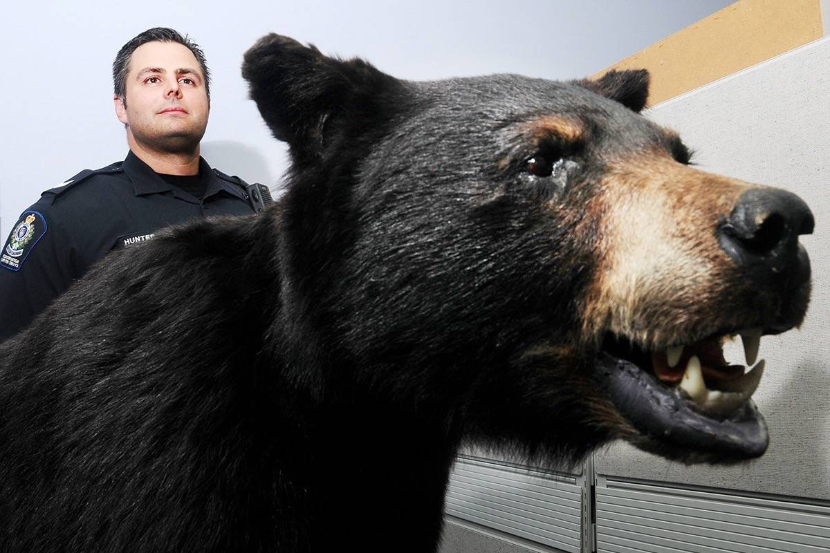 B.C. conservation officer Sgt. Todd Hunter said a black bear is believed to have killed local livestock. (THE NEWS/files)